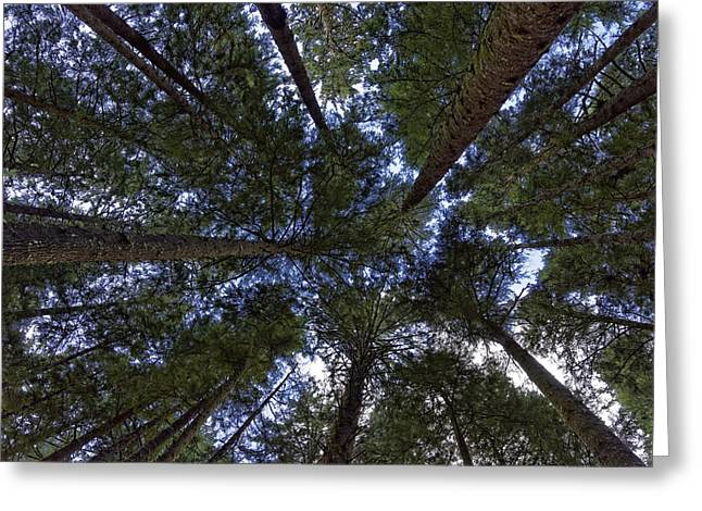 Douglas Fir Trees Greeting Cards - Reaching to the sky Greeting Card by Jonathan Davison