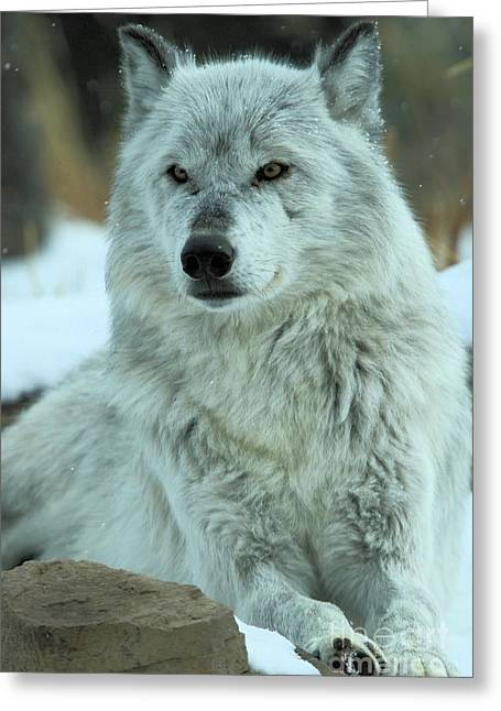 Alpha Wolf Greeting Cards - Ready For A Pedicure Greeting Card by Adam Jewell
