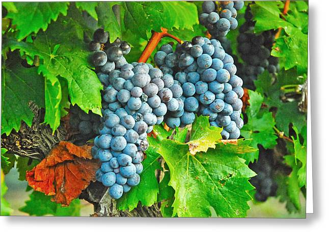 Grape Vineyards Greeting Cards - Ready for Harvest Greeting Card by Robert Anschutz