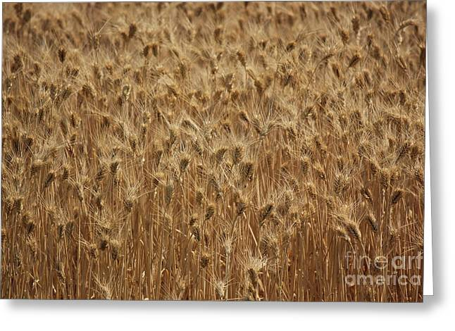 Ready For Harvest Greeting Cards - Ready For Harvest Greeting Card by Tanya Shockman