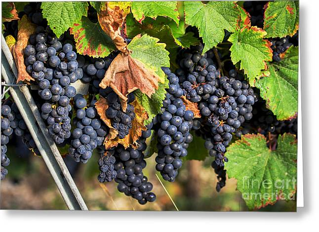 Malbec Photographs Greeting Cards - Ready For Picking Greeting Card by Tony Priestley