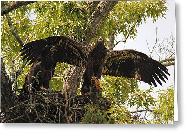 Eagle Greeting Cards - Ready to Fledge Greeting Card by Jai Johnson