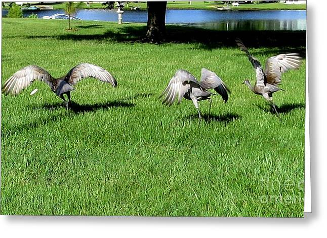 Sandhill Crane Chick Greeting Cards - Ready to fly Greeting Card by Zina Stromberg