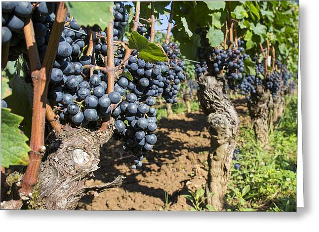 Vintner Greeting Cards - Ready to Harvest Greeting Card by Nomad Art And  Design
