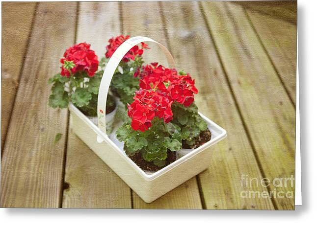 Red Geraniums Photographs Greeting Cards - Ready to Plant Greeting Card by Kay Pickens