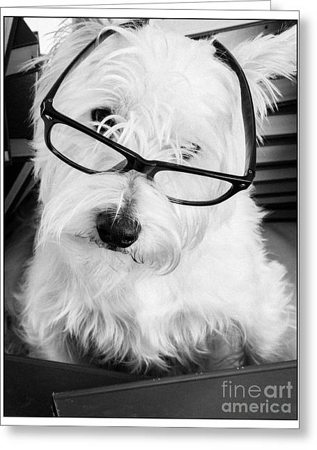 White Glass Greeting Cards - Really Portait of a Westie wearing glasses Greeting Card by Edward Fielding