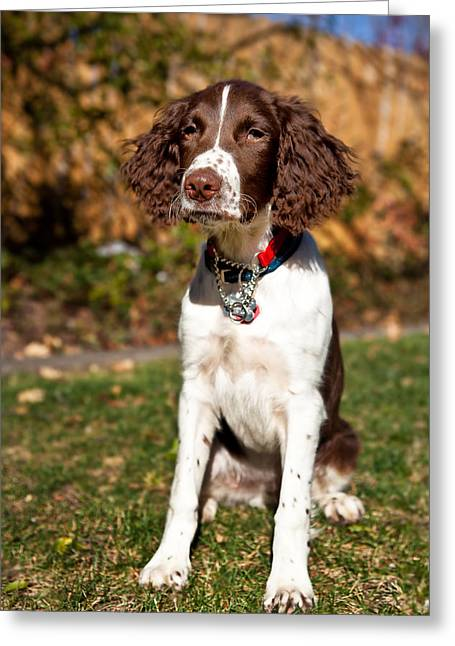Setter Pointer Greeting Cards - Reba the Brittany Spaniel Greeting Card by Henry Inhofer