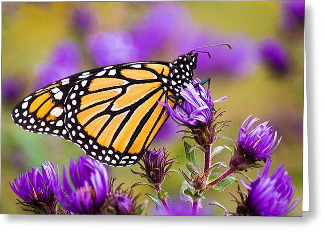 Aster Greeting Cards - Reclining Monarch Greeting Card by Bill Pevlor