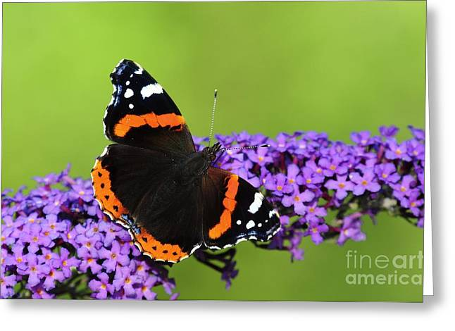 Zoology Greeting Cards - Red Admiral Feeding On Buddleia Flowers Greeting Card by Colin Varndell