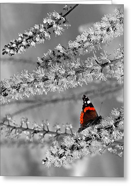Red Admiral On White Blossom Greeting Card by Gill Billington