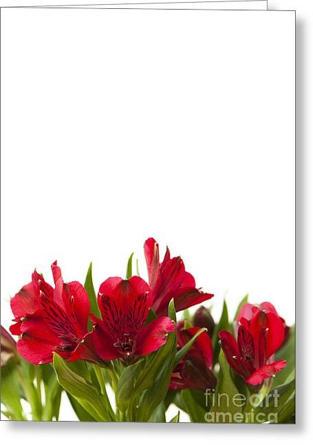 Red Alstroemeria Greeting Card by Anne Gilbert