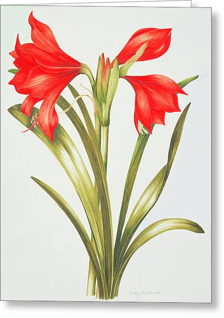 Red And Green Greeting Cards - Red Amarylis Greeting Card by Sally Crosthwaite