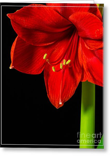 Boarder Greeting Cards - Red Amaryllis Flower Greeting Card by Edward Fielding