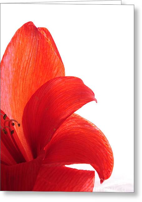 Red Amaryllis Greeting Card by Randi Grace Nilsberg