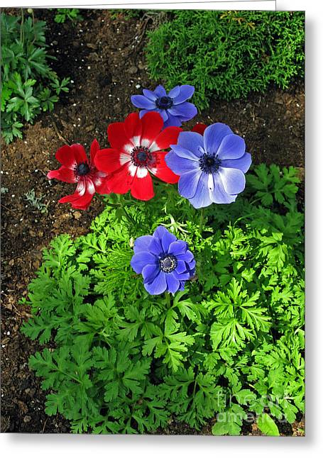 Pandute Digital Art Greeting Cards - Red and Blue Anemones Greeting Card by Ausra Paulauskaite