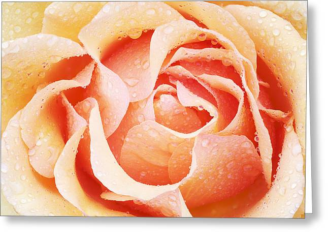 Unfold Greeting Cards - Red and Cream Rose Greeting Card by Dean Pennala