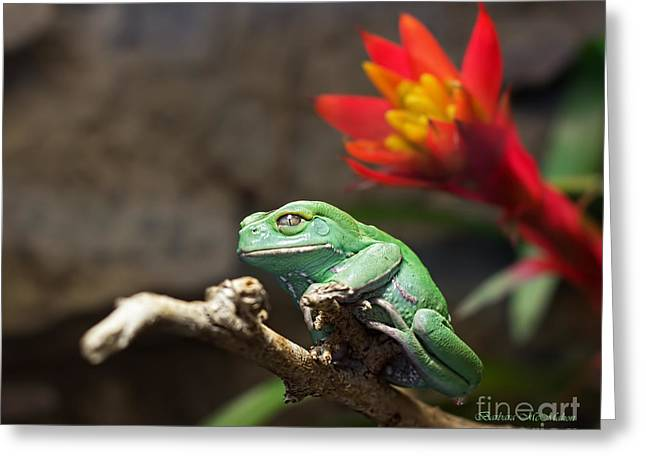 Recently Sold -  - Rhacophorus Greeting Cards - Red and Green Greeting Card by Barbara McMahon