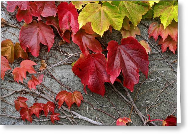 Red Leaves Greeting Cards - Red And Green Ivy Leaves Greeting Card by Rich Franco
