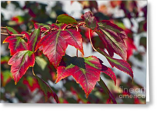 Red And Green Photographs Greeting Cards - Red and Green Leaves 2 Greeting Card by Sharon  Talson