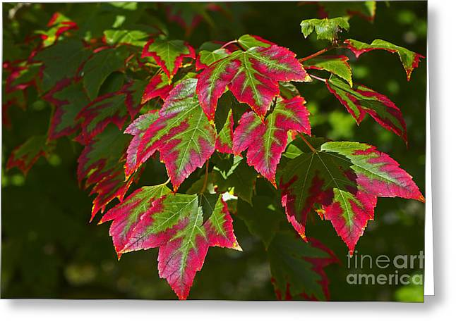 Red And Green Photographs Greeting Cards - Red and Green Leaves Greeting Card by Sharon  Talson