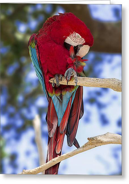 Red And Green Macaw Greeting Card by Bill Tiepelman