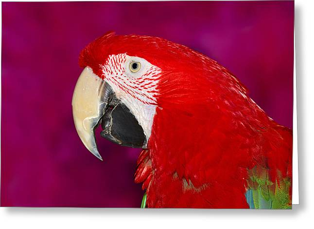 Wild Parrots Greeting Cards - Red and Green Macaw Greeting Card by Tony Beck