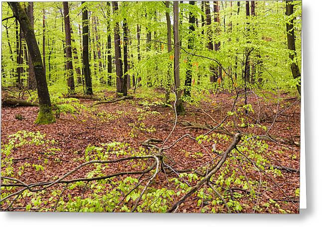 Red Leaves Greeting Cards - Red and green nature in the spring forest Greeting Card by Matthias Hauser