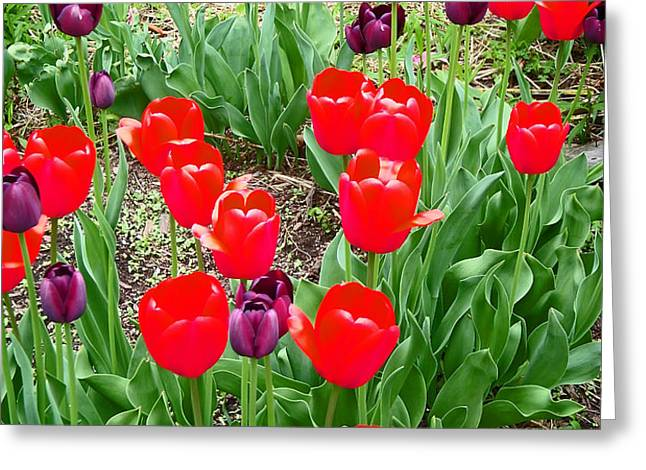 Red and Purple Tulips Greeting Card by Aimee L Maher Photography and Art