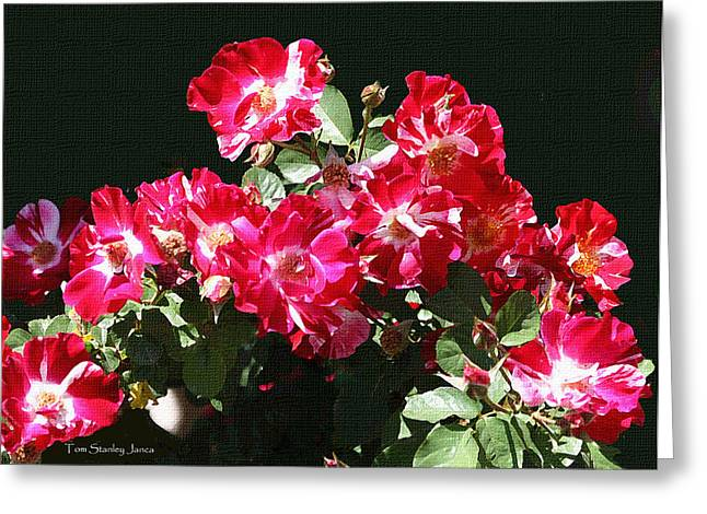 Mcc Greeting Cards - Red And Whit Roses Greeting Card by Tom Janca