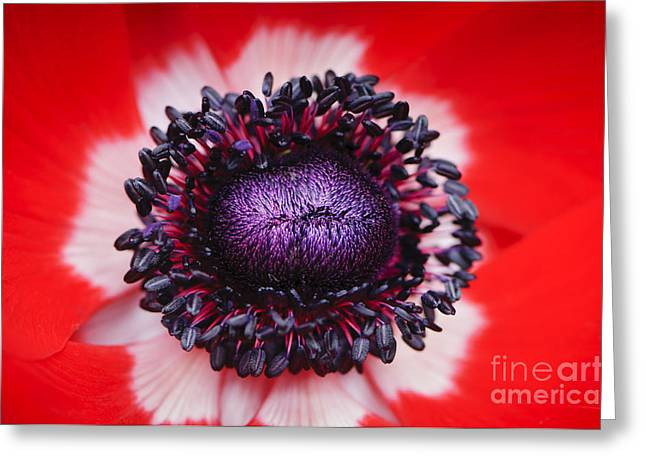 Poppies Greeting Cards - Red and White anemone flower Greeting Card by Oscar Gutierrez