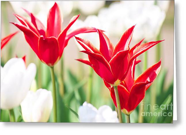 Spring Greeting Cards - Red and White  Greeting Card by Angela Doelling AD DESIGN Photo and PhotoArt