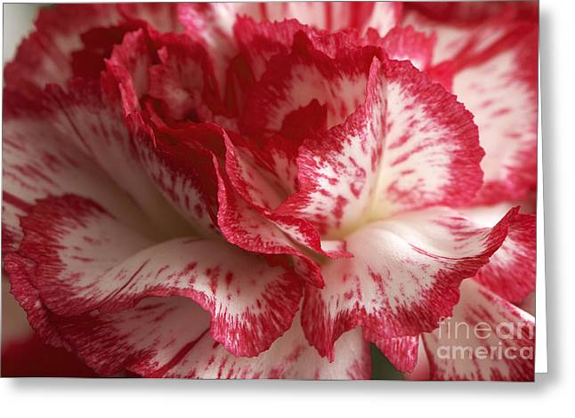 Ruffled Petals Greeting Cards - Red and White Carnation Greeting Card by Sharon  Talson