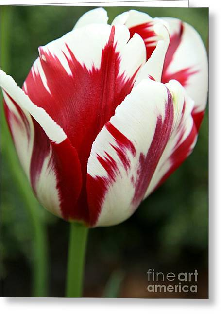 Christiane Schulze Greeting Cards - Red And White Greeting Card by Christiane Schulze Art And Photography