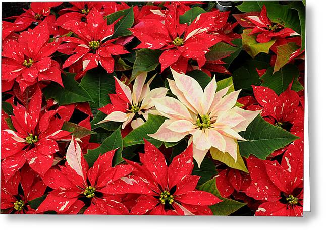 Phipps Conservatory Greeting Cards - Red and White Poinsettia Greeting Card by Cyril Furlan