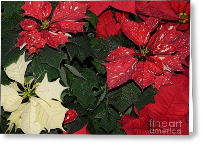 Struckle Greeting Cards - Red And White Poinsettia Greeting Card by Kathleen Struckle