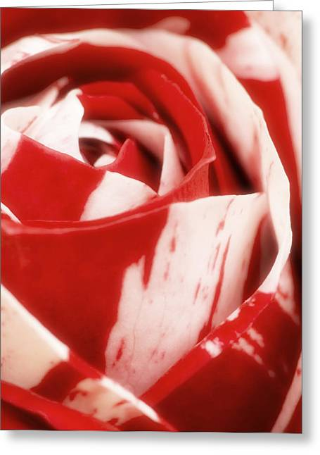 """soft Focus"" Greeting Cards - Red and White Rose Greeting Card by Wim Lanclus"