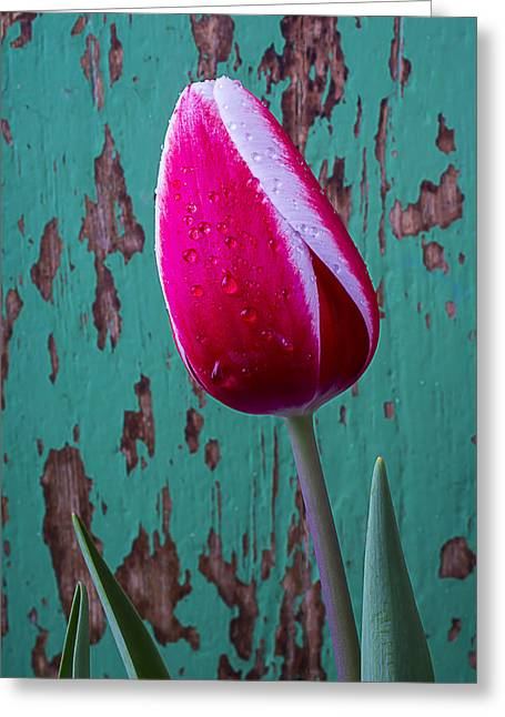 Rain Drop Greeting Cards - Red and White Tulip Greeting Card by Garry Gay