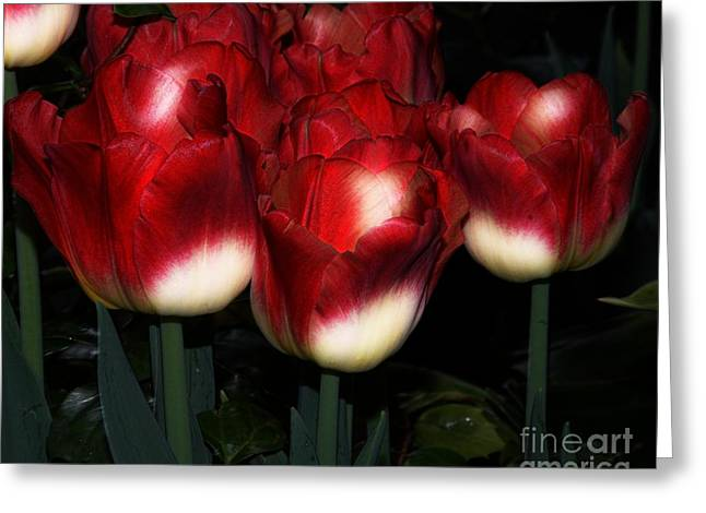 Spring Bulbs Greeting Cards - Red And White Tulips Greeting Card by Kathleen Struckle