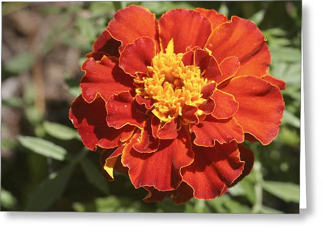 Ruffled Petals Greeting Cards - Red And Yellow Marigold Flower Greeting Card by Keith Webber Jr