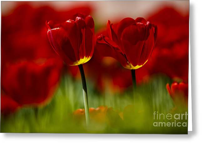 Red And Yellow Tulips Greeting Card by Nailia Schwarz