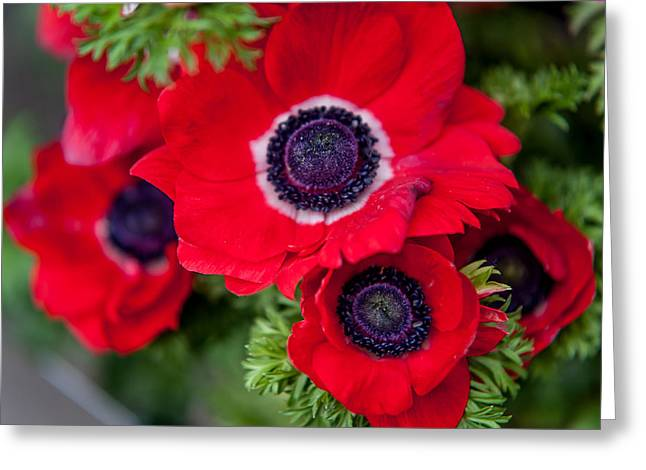 Amsterdam Market Greeting Cards - Red Anemone. Flowers of Holland Greeting Card by Jenny Rainbow
