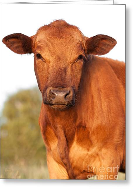 Cattle Drive Photographs Greeting Cards - Red Angus Cow Greeting Card by Cindy Singleton