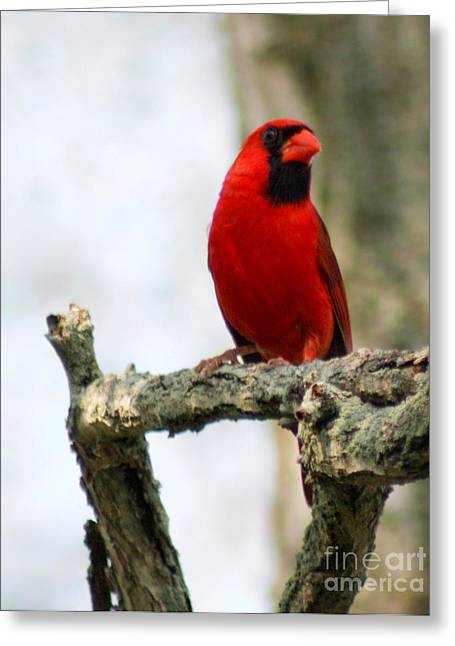 Ornithology Greeting Cards - Red Greeting Card by Anita Oakley