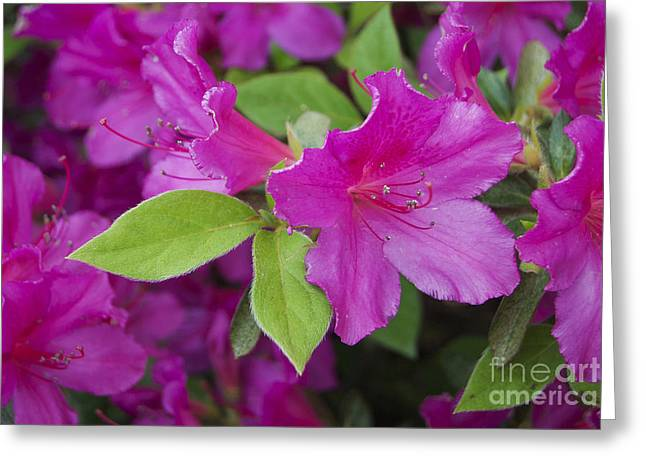 Fruit Tree Art Greeting Cards - Red Azalea Greeting Card by Skip Willits