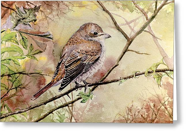 Zoology Paintings Greeting Cards - Red Backed Shrike Greeting Card by Andrew Read
