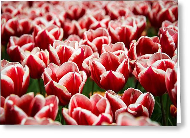 Keukenhof Gardens Greeting Cards - Red Beauties Greeting Card by Ryan Wyckoff
