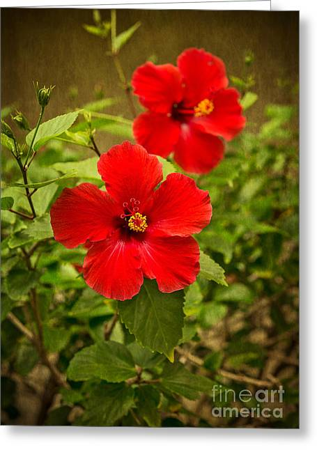 Mallow Greeting Cards - Red - beautiful hibiscus flowers in bloom on the island of Maui. Greeting Card by Jamie Pham