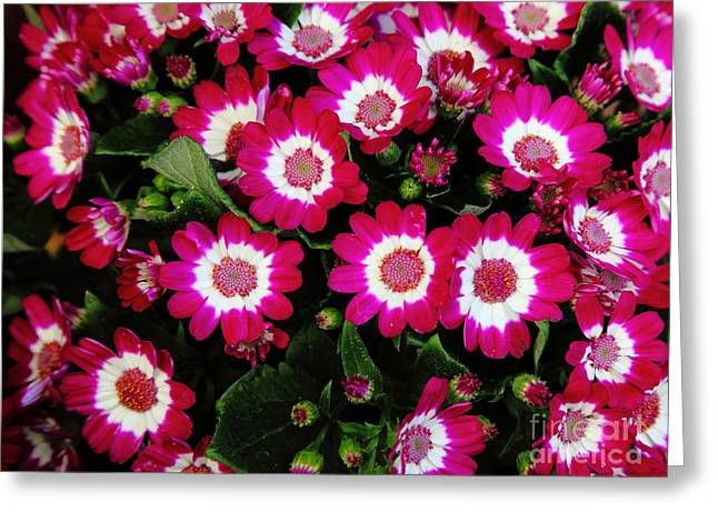 Perrenials Greeting Cards - Red Bed of Flowers 5D22462 Greeting Card by Wingsdomain Art and Photography