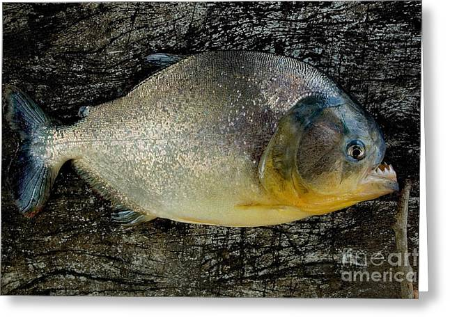 Piranha Greeting Cards - Red-bellied Piranha, Brazil Greeting Card by Gregory G. Dimijian, M.D.