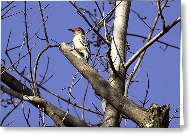 Thomas Young Photography Greeting Cards - Red-bellied Woodpecker 1 Greeting Card by Thomas Young